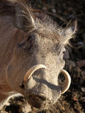 Warthog. A hairy face with tusk warthog stock image