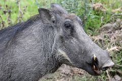 Warthog Head Royalty Free Stock Photo