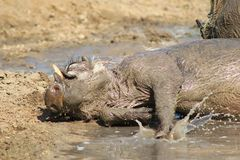 Warthog - A hell of a party Stock Images