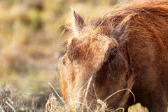 Warthog with his head in the grass. Close up of a Warthog with his head in the grass Stock Photography