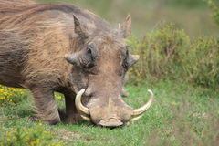 A warthog on his knees feeding. A warthog with big tusks feeds on his knees in a game reserve in the eastern cape,south africa Stock Image