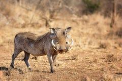 Warthog - Phacochoerus. A warthog in his natural habitat - South Africa royalty free stock image