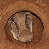 Warthog in a hole. Royalty Free Stock Images
