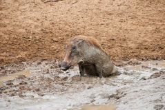 Warthog im Schlamm Lizenzfreie Stockfotos
