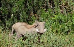 Warthog im wilden Lizenzfreie Stockfotos