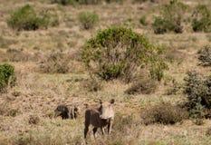 Warthog im wilden Lizenzfreie Stockbilder