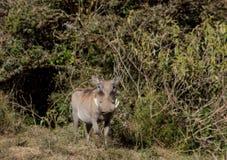 Warthog im wilden Stockfoto