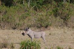 Warthog im wilden Lizenzfreie Stockfotografie