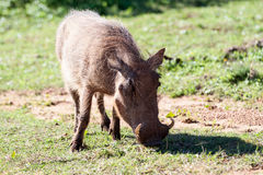 Warthog. Image Shot at Addo Elephant National Park stock photography