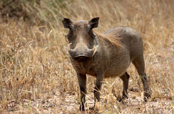 Warthog In Tanzania National Park Royalty Free Stock Image