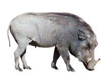 Free Warthog. Isolated On White Royalty Free Stock Photography - 40280267