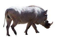 Warthog. Isolated over white. Warthog (Phacochoerus africanus). Isolated over white background Stock Photos
