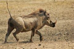 Warthog - körande Hog Royaltyfri Foto