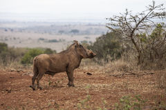 Warthog in kenya Royalty Free Stock Photo