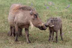 Warthog KIss. Warthog mother and it's young offspring interacting Stock Image