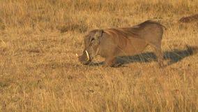 Warthog klęczy karmić wewnątrz masai Mara gry rezerwę zbiory