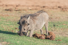 Warthog kneeling in elephant dung to graze Stock Images