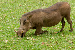 Free Warthog Kneeling To Graze Stock Photography - 38355382