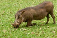 Warthog Kneeling to Graze stock photography