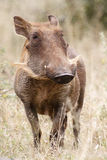 Warthog. In the Kruger National Park Stock Photos