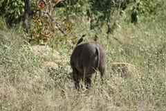 Warthog in the Kruger National Park. An warthog in the Kruger National Park Royalty Free Stock Photography