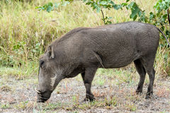 Warthog in Kruger National Park. South Africa Royalty Free Stock Image