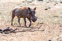 Warthog at Kruger National Park, South Africa. Warthog at Kruger National Park in South Africa Stock Image