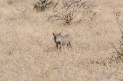 Warthog in Kruger Park South Africa Royalty Free Stock Image