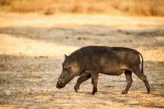 Warthog - Lake Mburo Uganda Stock Photo