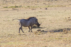 Warthog. Large male warthog in the Mara Stock Photos