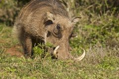 Warthog with large tusks. Huge warthog with large tusks eating long tasty green grass Royalty Free Stock Image
