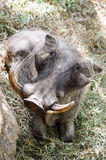 Warthog lie in the grass Stock Photography