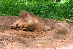 The warthog lies in the mud. The warthog lies in the brown mud Royalty Free Stock Photos