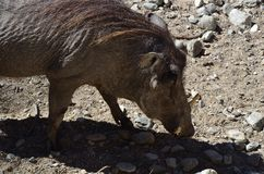 Warthog at the zoo. Warthog at the Living Desert Zoo in Palm Springs, USA Royalty Free Stock Photos