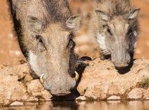 Warthog locha i prosiaczek woda pitna w wczesnym poranku su Obraz Stock