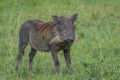 Warthog with long beard in green grass. In Serengeti National Park, Tanzania royalty free stock images