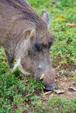 Warthog looking for food. At Mole National Park, Ghana Royalty Free Stock Photos