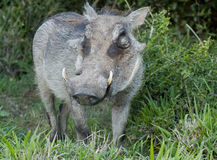 Warthog looking sideways Stock Photos