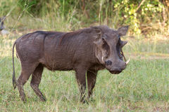 Warthog looking towards the camera Royalty Free Stock Images