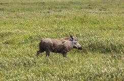 Warthog in Maasai Mara, Kenya Stock Image