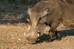 Warthog in Malawi, Africa Royalty Free Stock Photography