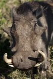 Warthog male with long tusks, Masai Mara Stock Images