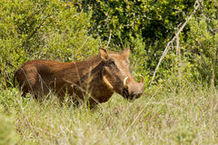 Warthog male in thick bush. Warthog male standing in some thick grass on a hot summers day Royalty Free Stock Photography