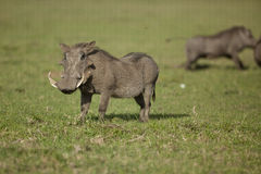 Warthog in Masai Mara Royalty Free Stock Image