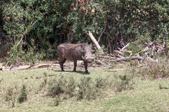 Warthog. In the Masai Mara Royalty Free Stock Photography