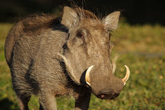 Warthog, Masai Mara, Kenya Stock Photo