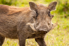 Warthog. Masai Mara Kenya Africa Stock Photo