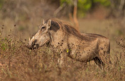 Warthog maschio Fotografia Stock
