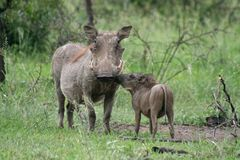 Warthog mother with oyung Stock Image