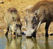 Warthog - Mother and Piglet Royalty Free Stock Image